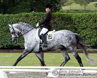 Grey Hanoverian Horse For Sale
